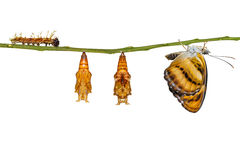 Isolated life cycle of colour segeant butterfly hanging on twig Stock Images