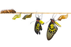 Isolated life cycle of female common birdwing butterfly. Life cycle of female common birdwing ( goldenwing) butterfly with clipping path royalty free stock images