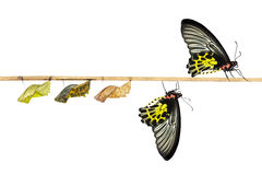 Isolated life cycle of female common birdwing butterfly. Life cycle of female common birdwing ( goldenwing) butterfly with clipping path stock photo