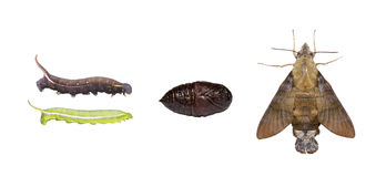 Isolated Life cycle of macroglossum sitiene moth. Life cycle of macroglossum sitiene moth isolated with clipping path stock photo
