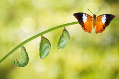 Isolated life cycle of Tawny Rajah butterfly. With caterpillar and chrysalis stock photos