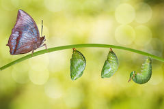 Isolated life cycle of Tawny Rajah butterfly. With caterpillar and chrysalis stock photography
