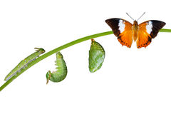 Isolated life cycle of Tawny Rajah butterfly on white stock photos