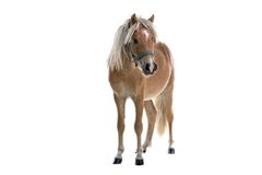 Isolated light brown horse stock images