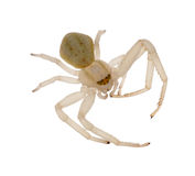 Isolated light color spider Stock Photography