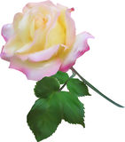 Isolated light pink single rose Royalty Free Stock Photography