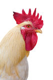 Isolated light rooster portrait. Photo with light rooster portrait Royalty Free Stock Image