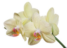 Isolated light yellow four orchid flowers branch Royalty Free Stock Images