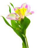 Isolated lilly. On white background Stock Photos