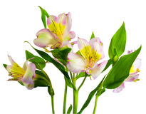 Isolated lillys. Isolated lilly on white background Royalty Free Stock Photos