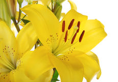 Isolated lily 2 Royalty Free Stock Photos