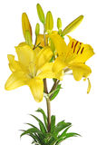 Isolated lily Royalty Free Stock Image