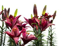 Isolated lily flowers and plants Stock Photo