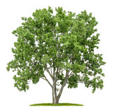 Isolated lime tree Stock Image