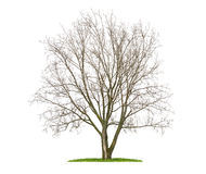 An isolated lime tree in the winter Stock Photo