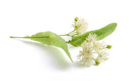 Isolated linden flower Stock Images