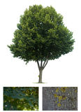 Isolated Linden tree Stock Photo