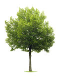 Isolated Linden tree Royalty Free Stock Photo