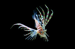 Isolated Lion Fish. Skinny lion fish swimming, isolated with the color black Stock Images
