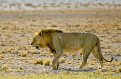 An isolated lion walking on the plains Stock Photo
