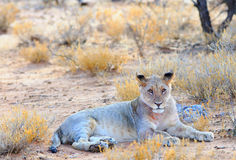 An isolated lioness resting in the bush Royalty Free Stock Photos