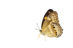 Isolated little banded yeoman butterfly on white Royalty Free Stock Image