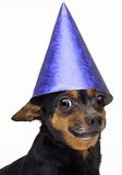 Isolated little dog. Little dog in blue cap Royalty Free Stock Photography