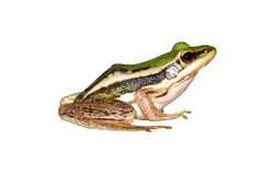 Isolated little frog sitting Royalty Free Stock Photo
