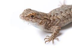 Isolated Lizard Royalty Free Stock Photo