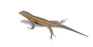 Isolated Lizard (Clipping Path) Stock Photos