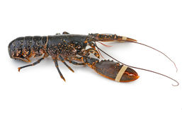 Isolated lobster Royalty Free Stock Photography