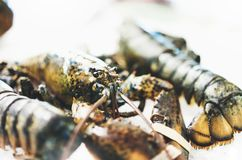 Isolated lobster on ice background on the market, closeup of fresh crustacean products in restaurant, useful shellfish sea food. Group frozen seafood after royalty free stock image