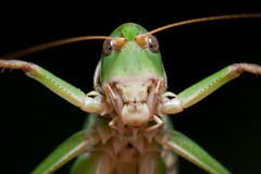 Isolated locust on black background, close-up Stock Photos