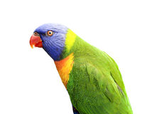 Isolated Lorikeet Royalty Free Stock Photography