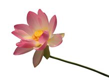 Isolated Lotus. With clipping path Stock Photo