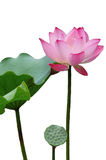 Isolated Lotus Flower in full bloom. With lotus leafs in pond Stock Photography