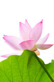 Isolated lotus flower and leaf Stock Image
