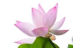 Isolated lotus flower and leaf Royalty Free Stock Images