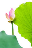Isolated lotus flower and leaf Royalty Free Stock Photos