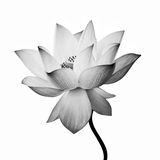 Isolated lotus Royalty Free Stock Photos