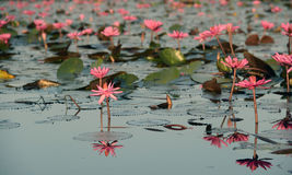 Isolated Lotus Stock Images