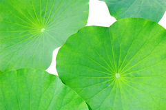Isolated lotus leaf Royalty Free Stock Photos