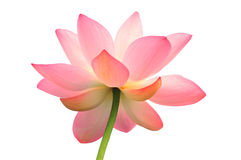 Isolated lotus with path Royalty Free Stock Photo
