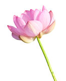 Isolated Lotus on the stem Stock Images
