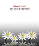 Isolated lotus white Stock Image