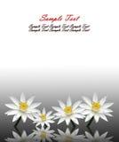 Isolated lotus white Stock Image