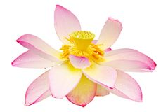 Isolated lotus white background Royalty Free Stock Photo