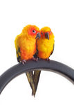 Isolated of lovely Sun Conure in pair Stock Image