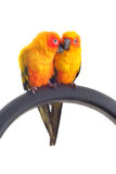 Isolated of lovely Sun Conure in pair Royalty Free Stock Photos