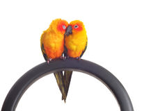 Isolated of lovely Sun Conure in pair Royalty Free Stock Photo